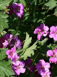 Géranium vivace riversleaianum Russell Prichard - Géranium vivace magenta