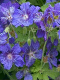 Géranium vivace Sabani Blue - Géranium hybride bleu