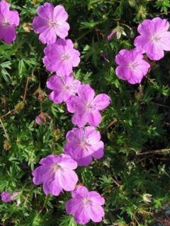 Géranium vivace sanguineum Aviemore