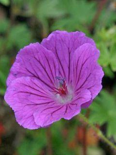 Géranium vivace sanguineum Hannelore - Géranium vivace rose foncé, veiné de pourpre.