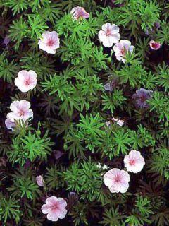 Géranium vivace sanguineum striatum
