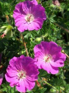 Geranium vivace Tiny Monster - Géranium hybride rose vif veiné de rouge sombre.