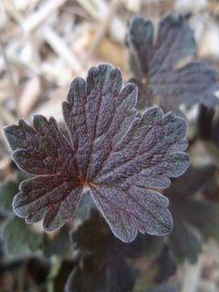 Géranium vivace oxonianum Sanne - Géranium vivace hybride blanc, feuillage brun