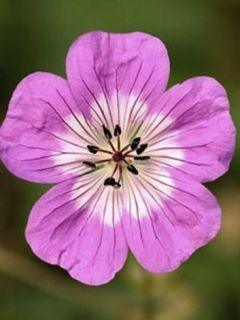 Geranium vivace Silvia's surprise
