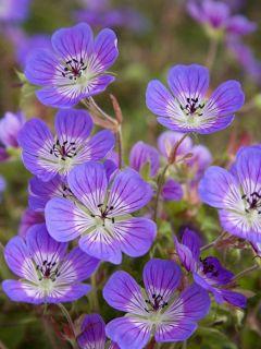 Géranium vivace Sweet Heidi
