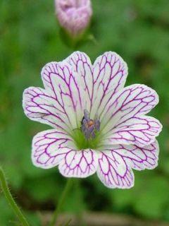 Géranium vivace versicolor
