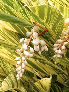 Alpinia zerumbet Variegata - Gingembre coquille panaché