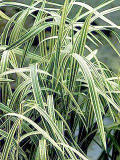 Grande Glycérie panachée - Glyceria maxima Variegata