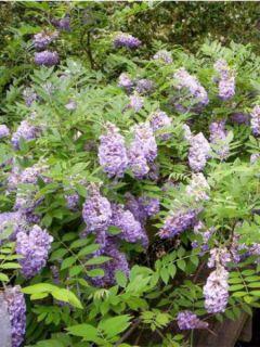 Glycine d'Amérique Amethyst Falls - Wisteria frutescens