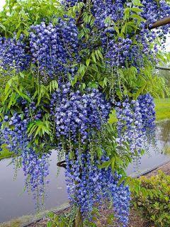 Glycine Blue Moon - Wisteria macrostachya