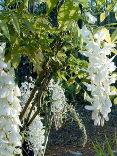 Glycine de Chine - Wisteria sinensis alba