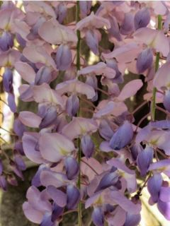 Glycine de Chine 'Flore Pleno'