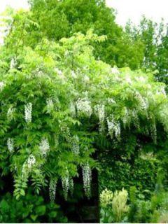 Glycine du Japon - Wisteria floribunda Alba