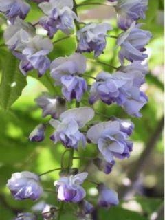 Glycine japonaise 'Ed s Blue'