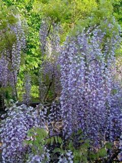 Glycine du Japon - Wisteria floribunda Macrobotrys