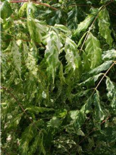 Glycine du Japon - Wisteria floribunda variegata