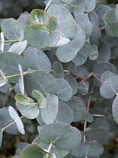 Eucalyptus gunnii France Bleu® Rengun - Gommier cidre