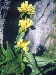 Gentiana lutea - Gentiane jaune