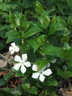 Vinca major Alba - Grande Pervenche blanche
