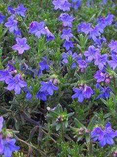 Grémil 'Heavenly Blue'
