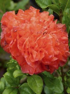 Grenadier à fleurs - Punica granatum Maxima Rubra