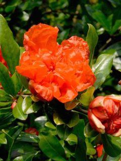 Grenadier à fruits - Punica granatum
