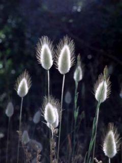Queue-de-lièvre nain Bunny Tails - Lagurus ovatus