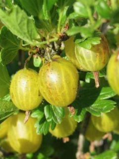 Groseillier à maquereaux Golden Drop - Ribes uva crispa