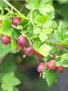 Groseillier à maquereaux Worcesterberry - Ribes grossularia var.uva-crispa