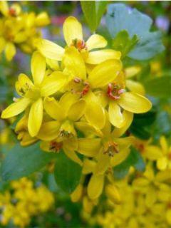 Ribes odoratum - Groseillier doré