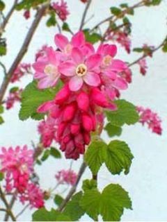 Ribes sanguineum King Edward VII - Groseiller à fleurs King Edwa