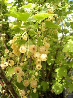 Groseillier à grappes blanches Blanka - Ribes rubrum