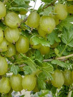 Groseillier à maquereaux Hinnonmaki vert