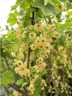 Groseillier à grappes Hollande blanche - Ribes rubrum