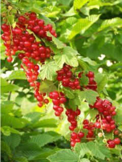 Groseillier à grappes rouges Junifer - Ribes rubrum