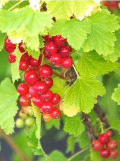 Groseillier à grappes rouges London Market - Ribes rubrum