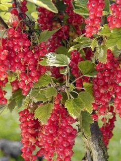 Groseillier raisin Agate Rouge mactor - Georges Delbard