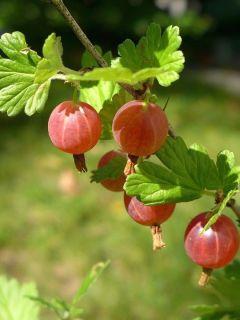 Groseillier à maquereaux Winham's Industry - Ribes uva crispa
