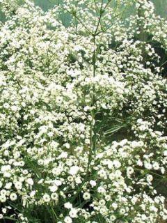 Gypsophile hybride white festival