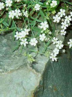 Gypsophile rampant Alba - Gypsophila repens Alba