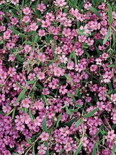 Gypsophila repens Rosa Schönheit - Gypsophile rampant rose foncé