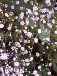 Gypsophila Rosenschleier - Gypsophile Rosy Veil