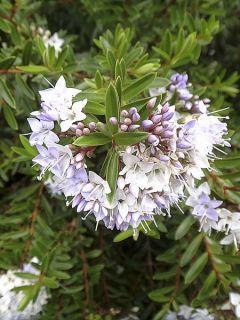 Hébé, Véronique arbustive diosmifolia