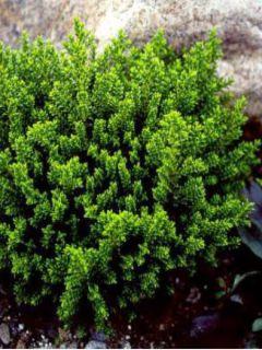 Hébé, Véronique arbustive 'Emerald Green'
