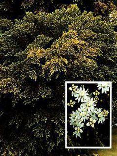 Hebe ochracea - Véronique arbustive