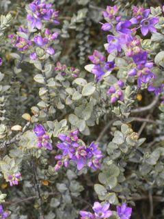 Hebe pimeleoides Quicksilver - Véronique arbustive