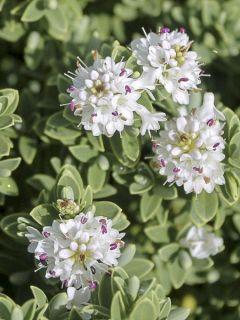 Hébé, Véronique arbustive 'Sutherlandii '