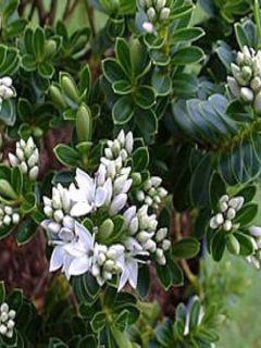 Hébé, Véronique arbustive vernicosa