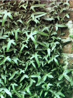 Lierre d'ornement - Hedera helix Sagittifolia