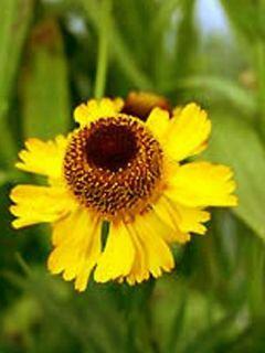 Helenium autumnale Pumilum Magnificum - Hélénie d'automne